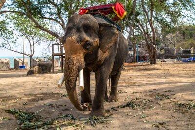 Bild Asiatischer Elefant