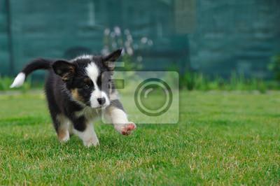 Bild Australian Shepherd Welpen Aussie auf dem Gras