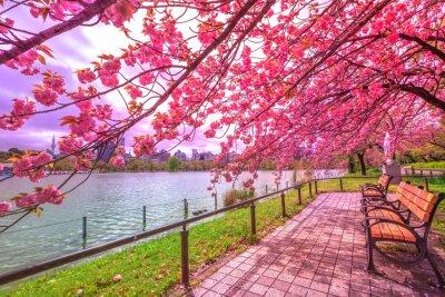 Bild Bänke unter Kirschbäumen in voller Blüte während Hanami entlang Shinobazu-Teich in Ueno-Park, ein Park nahe Ueno-Station, zentrales Tokyo. Ueno Park gilt als der beste Ort in Tokio für Kirschblüten.