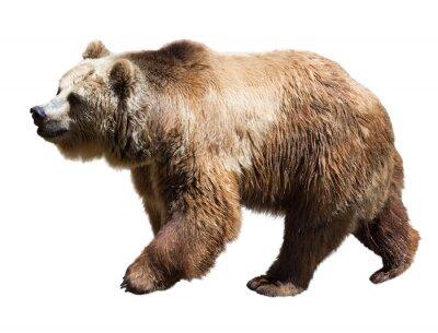 Bild Bär. Isolierte über weiß