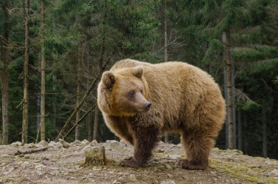 Bild Bär sucht den Frühling im Wald