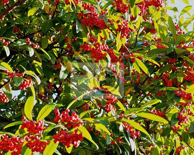 Gemeinsame Baum mit roten beeren leinwandbilder • bilder Beere, Baum, Herbst @HC_46