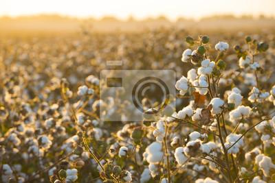 Bild Baumwollfeldhintergrund bereit zur Ernte unter Makronahts eines goldenen Sonnenuntergangs von Anlagen