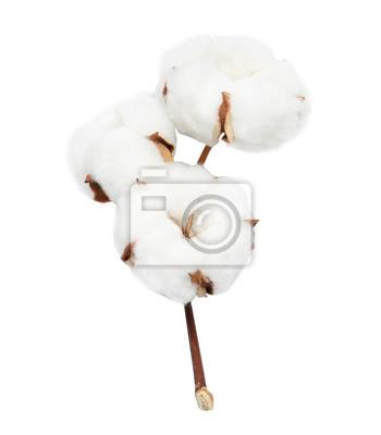 Bild Beautiful fluffy cotton flowers on white background