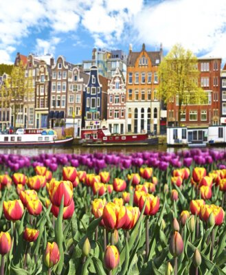 Bild Beautiful landscape with tulips and houses in Amsterdam, Holland