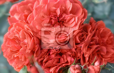 Bild Beautiful living coral roses flowers in garden close up. Tinted effect