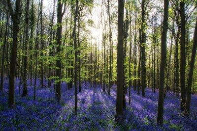 Bild Beautiful morning in Spring bluebell Wald mit Sonnenstrahlen throu