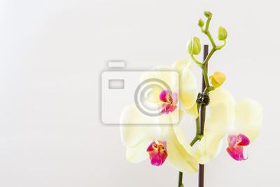 Bild Beautiful orchid on white background