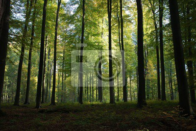 Bild Beautiful scenery of high green trees in the forest with the sun rays during daytime in Brussels