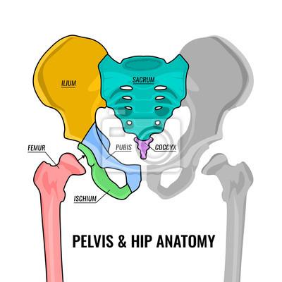 Becken-anatomie-schema leinwandbilder • bilder Kreuzbein, Femur ...