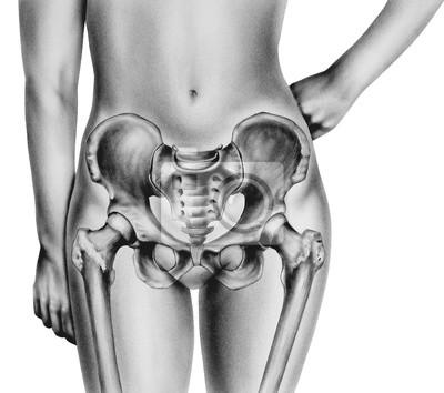 Becken - weibliche hervorhebung normaler anatomischer knochen ...