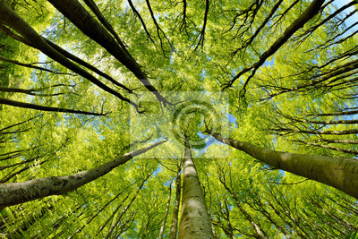 Bild Beech Trees Forest in Early Spring, from below, fresh green leaves