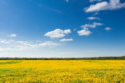 Bild Bereich der gelben Löwenzahn gegen den blauen Himmel.