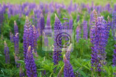 Bereich der lila Lupine