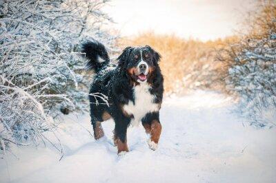 Bild Berner Sennenhund auf der Wanderung im Winter