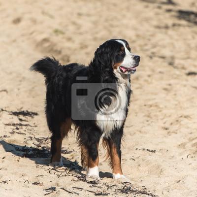 Berner Sennenhund Schwarzer Brauner Und Weißer Hund Der Auf