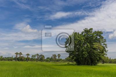 Big Baum in Paddy Jasmin Reis Bauernhof mit schönen Himmel in Thailand