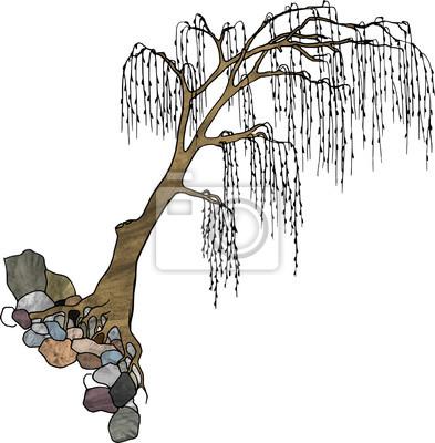 Big bent baum mit langen hängenden zweigen, wächst auf stein ...