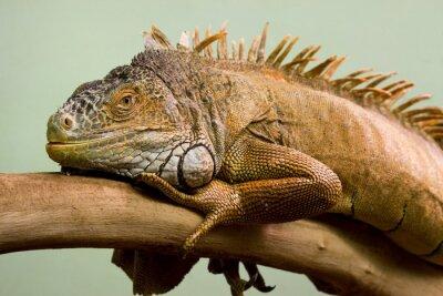 Bild Big Eidechse schlafen auf dem Ast close-up, isoliert Hintergrund