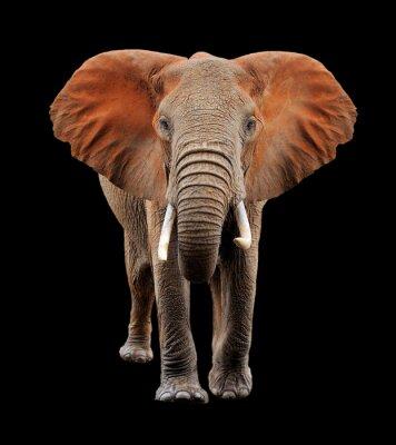 Bild Big Elefanten auf schwarzem Hintergrund