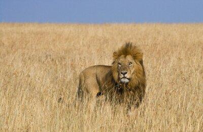Bild Big männlichen Löwen in der Savanne. Nationalpark. Kenia. Tansania. Maasai Mara. Serengeti Eine ausgezeichnete Illustration.