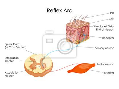 Bildungs-diagramm der biologie für reflex-lichtbogen-diagramm ...