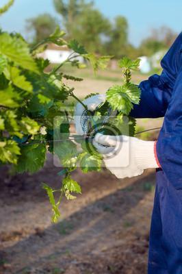 Binden Trauben Zweige