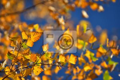 Bild Birch leafs in autumn