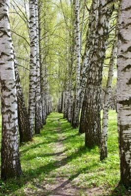 Bild Birch-tree alley at sunny spring park