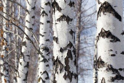 Bild Birkenstamm in der Natur