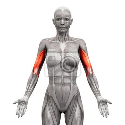 Bizeps muskeln - anatomie muskeln isoliert auf weiß leinwandbilder ...