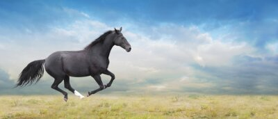 Bild Black horse runs full gallop on field