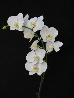 Bild Blasse weiße Orchidee close up auf schwarzem Hintergrund