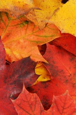Bild Blätter von Ahorn