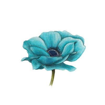 Bild Blau Anemone