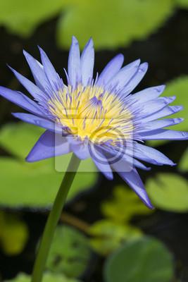 Bild Blau und lila Lotusblüten Pollen und grünen Urlaub