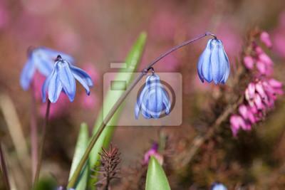 Blaue Frühlingsblumen