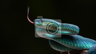 Bild Blaue Grubenviper von Indonesien