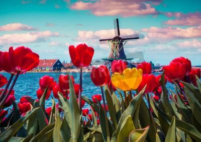 Bild Blossom Tulpen im niederländischen Dorf mit berühmten Windmühlen. Frühling sonnigen Morgen auf den Niederlanden Kanälen. Instagram-Tönung.