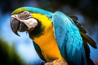 Bild Blue-and-yellow macaw (Ara-ararauna)