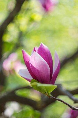 Bild Blühen von rosa Magnolien blüht im Frühling