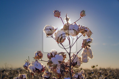 Bild blühende Baumwolle in Arizona
