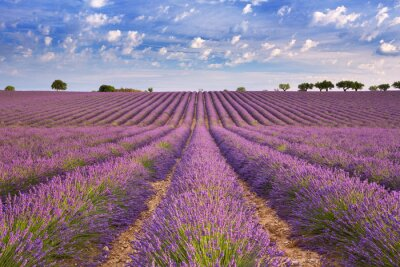 Bild Blühende Lavendelfelder in der Provence, Südfrankreich