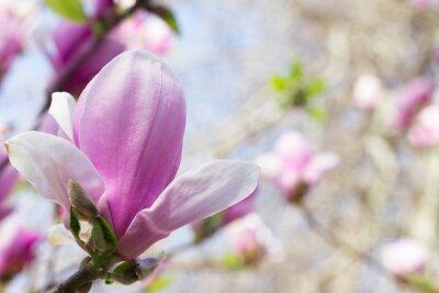 Bild Blühende Magnolienblüte