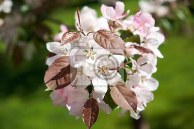 Blumen rosa Apfel