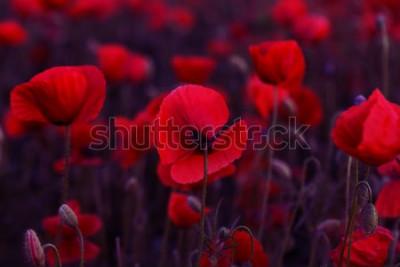 Bild Blumen Rote Mohnblumenblüte auf wildem Feld. Rote Mohnblumen des schönen Feldes mit selektivem Fokus. Tonen. Kreative Verarbeitung in dunklem Low Key