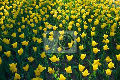 Blumenbeet mit gelber Tulpe