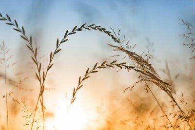 Blurry Landschaft Gras bei Sonnenuntergang Licht. Golden blau gefärbten Wiese Gras Hintergrund. Geringe Tiefenschärfe verwendet.