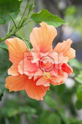 Bild Blüte Orange Hibiskus im Garten