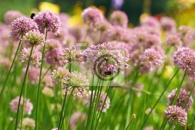 Bild Blüten einiger Allium